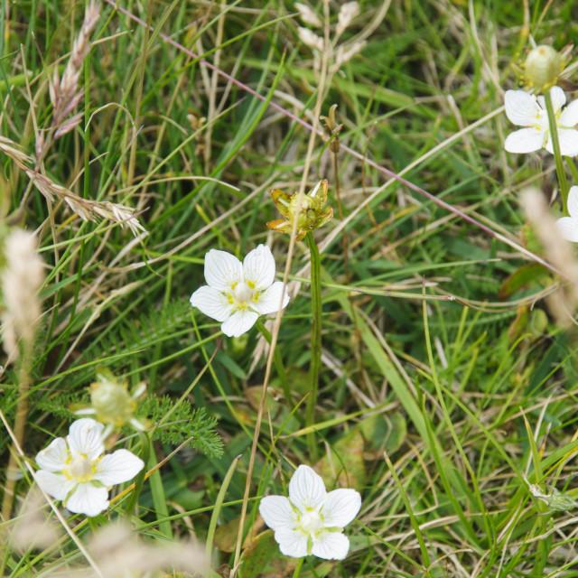 """Pyrenean buttercup (Ranunculus pyrenaeus)"" stock image"