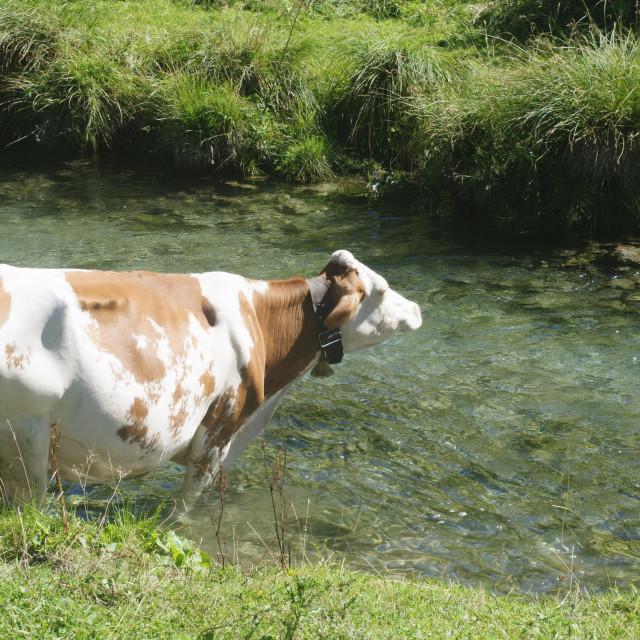"""Free roaming Cow"" stock image"