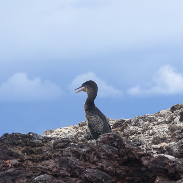 """""""1047 - Galápagos: a Flightless Cormorant head in the clouds"""" stock image"""