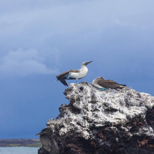 """""""1048 - Galápagos: my feet are bluer than yours"""" stock image"""