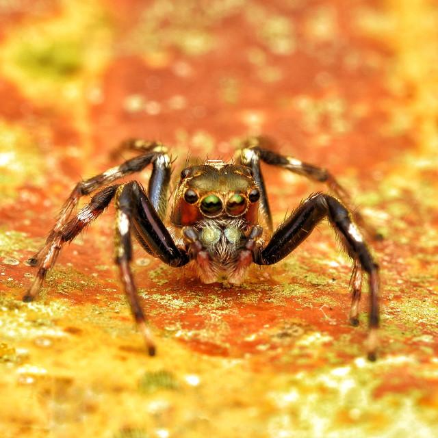 """""""Donoessus striatus spider"""" stock image"""