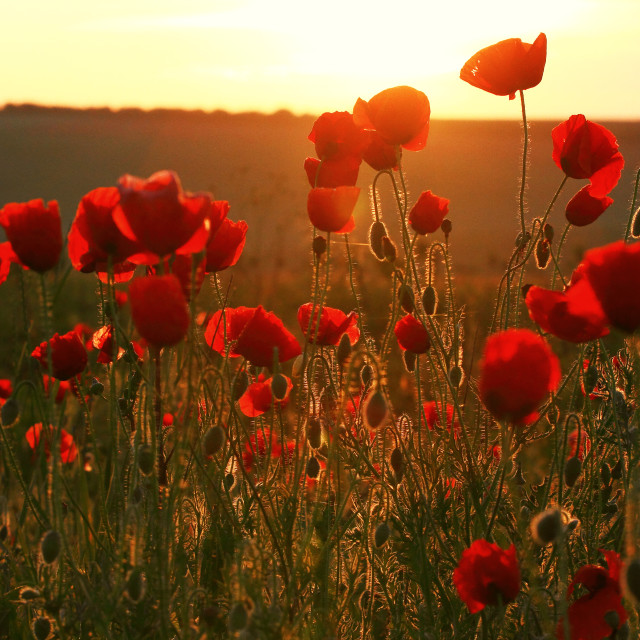 """""""summer poppies"""" stock image"""