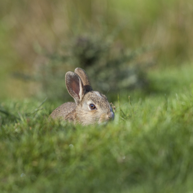 """Rabbit Oryctolagus cunniculus in Grass Habitat, North Pennines,"" stock image"