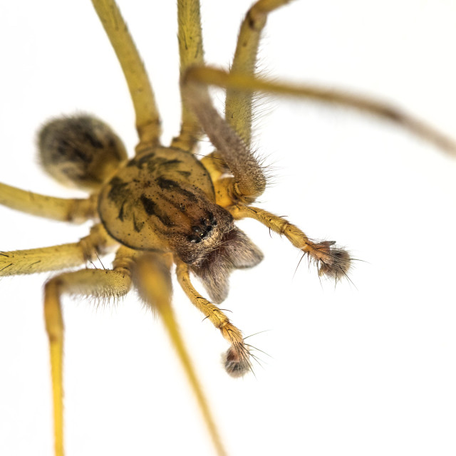 """""""Close up View of a Common House Spider Tegenaria gigantean, UK"""" stock image"""