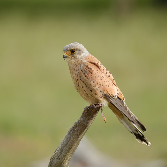 """A Common kestrel male perched up close"" stock image"