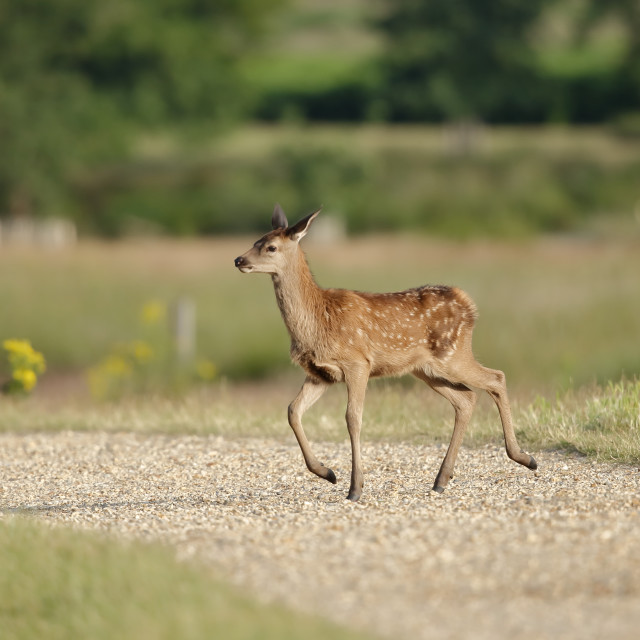 """Bambi - a red deer fawn"" stock image"