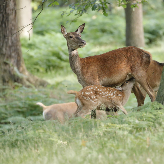 """A Red deer hind feeding her fawn"" stock image"