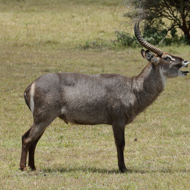"""""""A Waterbuck male stag bellowing"""" stock image"""