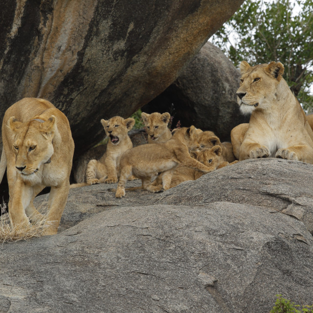 """""""A pride of African lions on a kopje with cubs"""" stock image"""