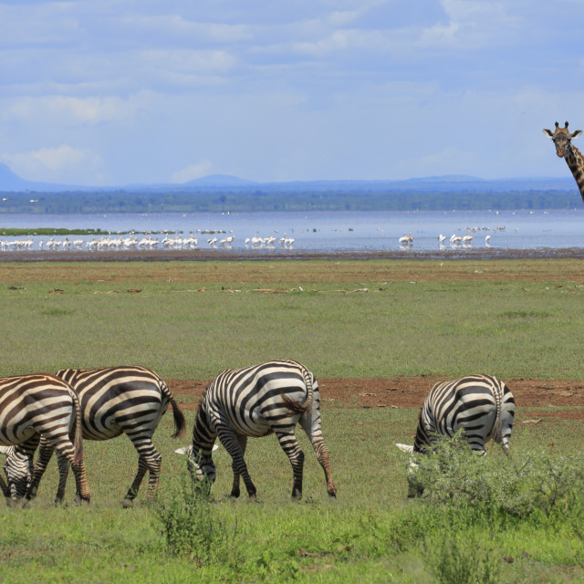 """Out of Africa - A scene from Lake Manyara, Tanzania"" stock image"