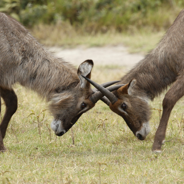 """Two young waterbucks play fighting"" stock image"