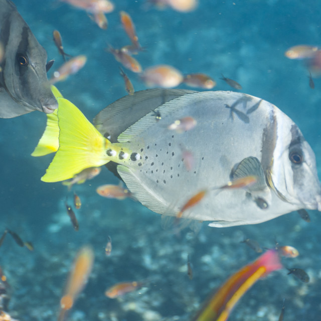 """""""1289 - Galápagos: a Razor Surgeonfish surrounded by small neighbours"""" stock image"""