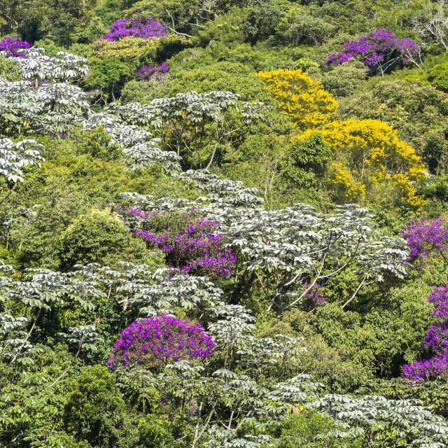 """Brazilian Atlantic Forest with its late summer flowering"" stock image"