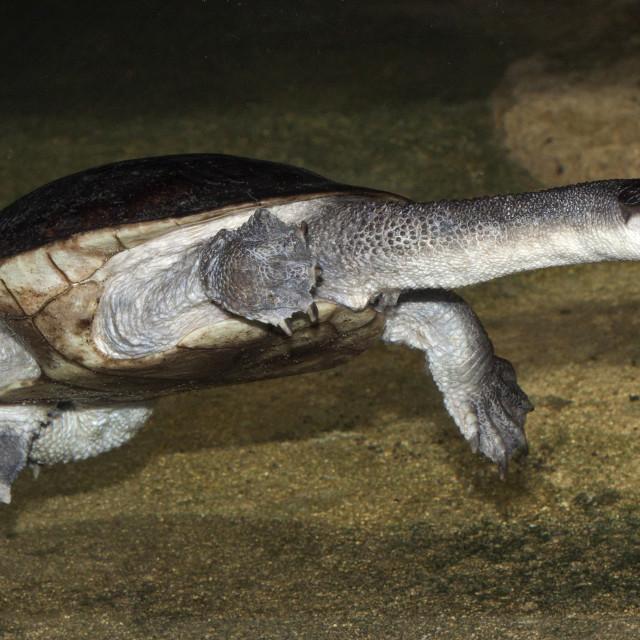 """""""Roti Island Snake-necked Turtle 2"""" stock image"""