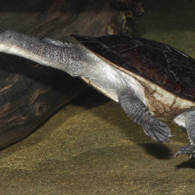 """""""Roti Island Snake-necked Turtle 3"""" stock image"""