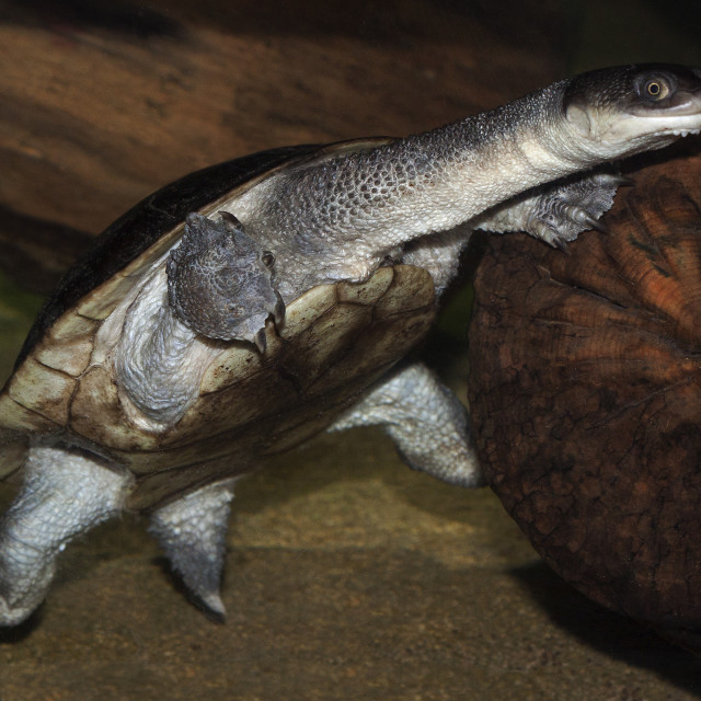 """""""Roti Island Snake-necked Turtle 1"""" stock image"""