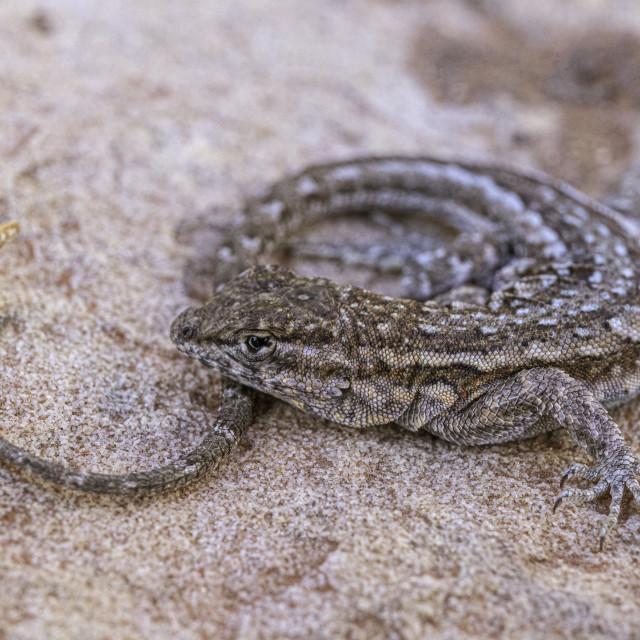 """""""Sagebrush Lizard"""" stock image"""