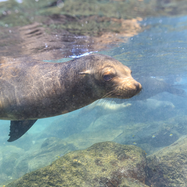 """""""2196 - Galápagos: floating just under sea level"""" stock image"""