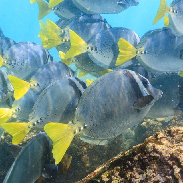 """2180 - Galápagos: a school of Razor Surgeonfish"" stock image"