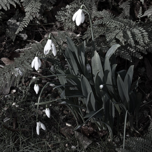 """Snowdrops with Ferns"" stock image"