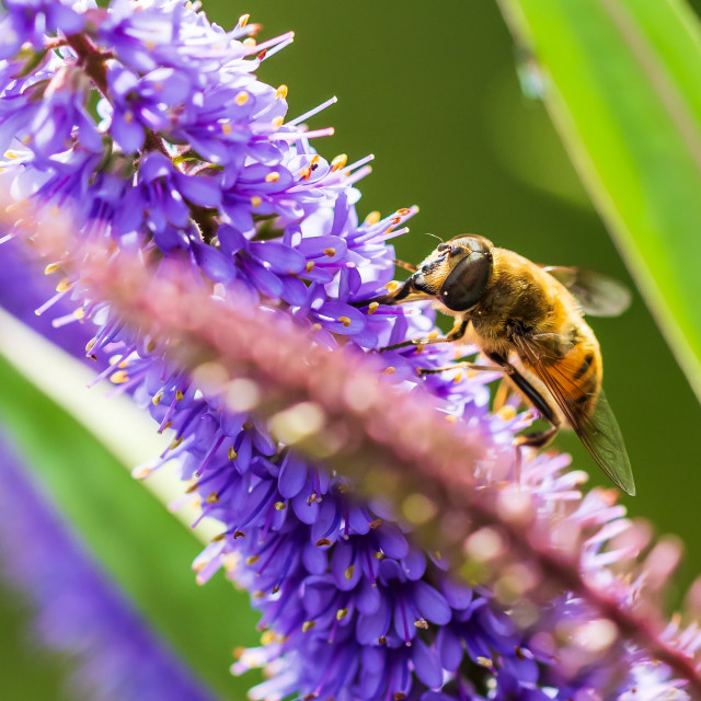 """""""Drone fly Eristalis tenax insect feeding on a sunny day"""" stock image"""