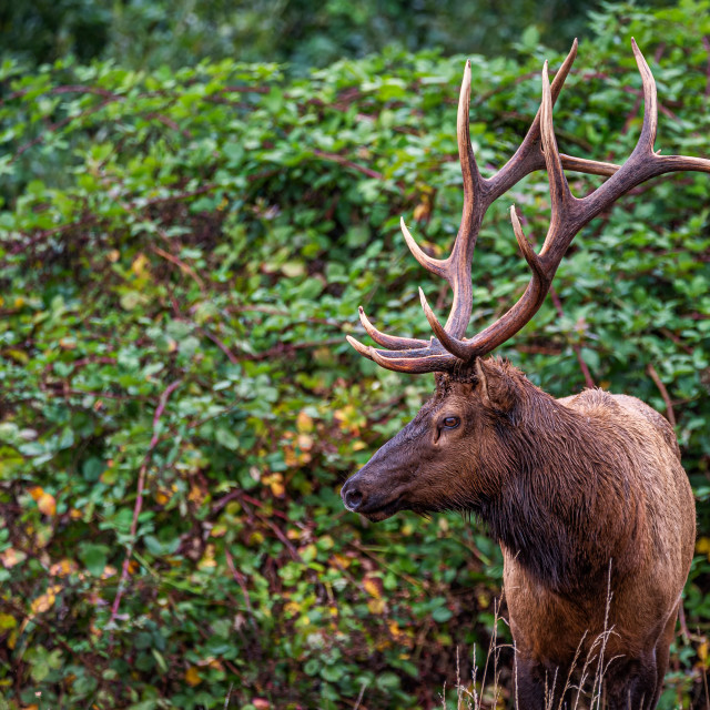 """Roosevelt Bull Elk Standing in Front of Green Vines"" stock image"