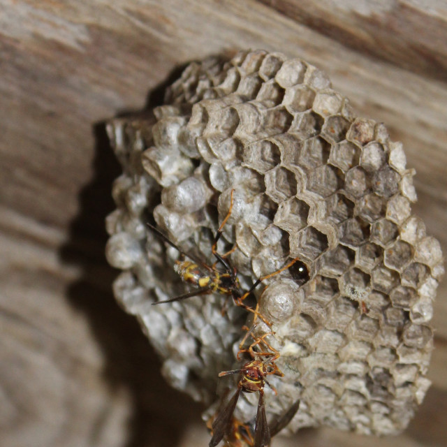 """wasp nest"" stock image"