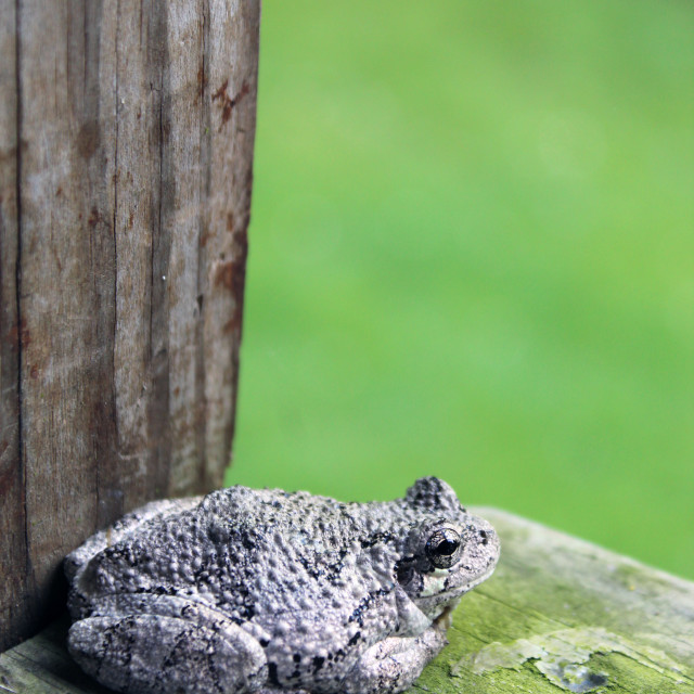 """tree frog on deck"" stock image"