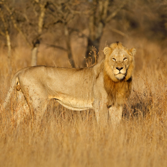 """Big male African lion - Kruger National Park"" stock image"