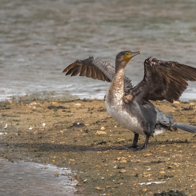 """Juvenile Cormorant"" stock image"
