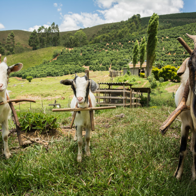 """Family rearing of goats in Brazil"" stock image"
