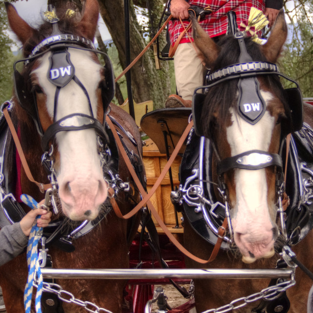 """""""Clydesdale Horses"""" stock image"""