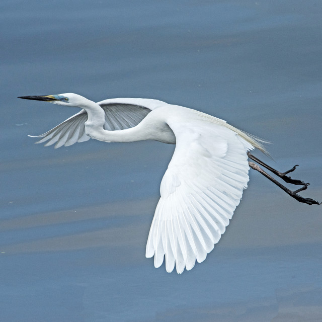 """Great Egret Heads Up"" stock image"