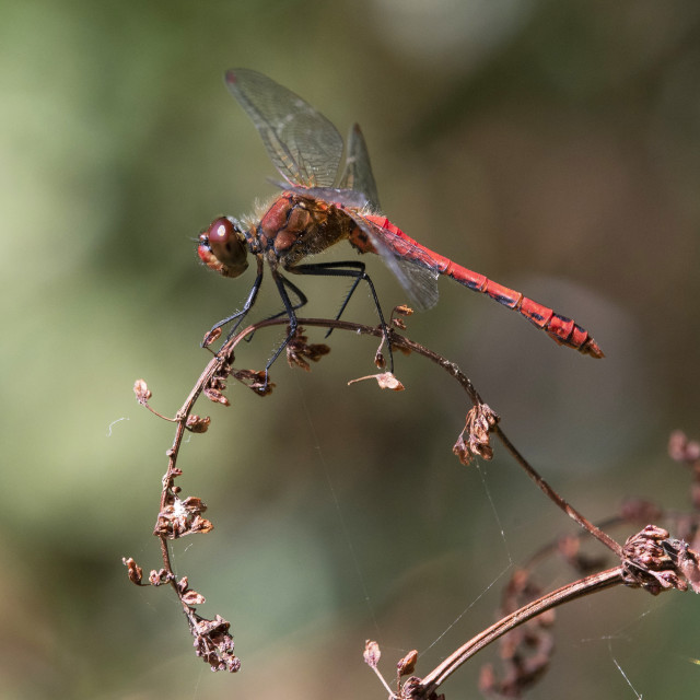 """A Ruddy Darter"" stock image"
