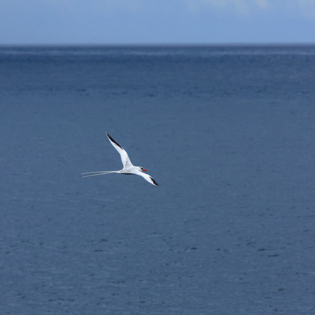 """""""2263 - Galápagos: a Red-billed Tropicbird in flight (1) (Isla Plaza, South Plaza)"""" stock image"""