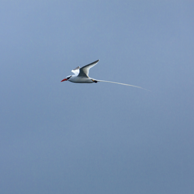 """""""2294 - Galápagos): a Red-billed Tropicbird in flight (2)"""" stock image"""