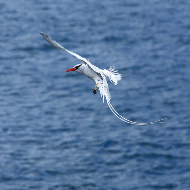 """""""2278 - Galápagos: a Red-billed Tropicbird in flight (3)"""" stock image"""