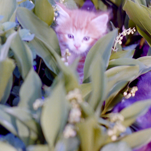 """Kitten Hiding"" stock image"