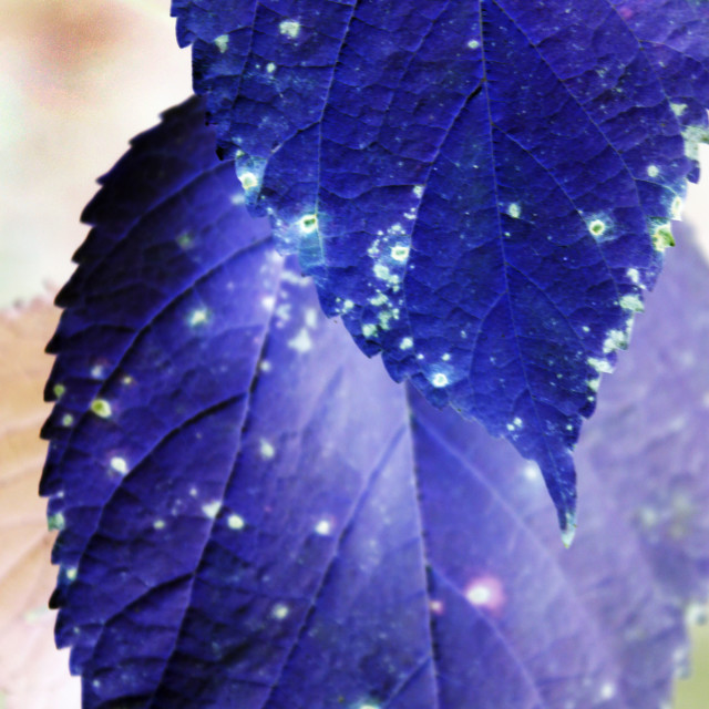 """""""yellow mulberry leaves turned blue"""" stock image"""
