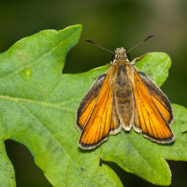 """""""Small Skipper Female Butterfly"""" stock image"""