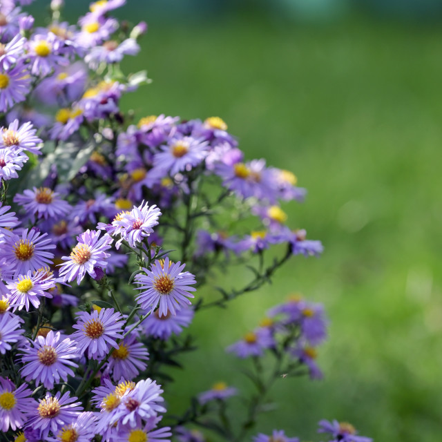 """""""Pollination Of Violet Flowers Aster"""" stock image"""