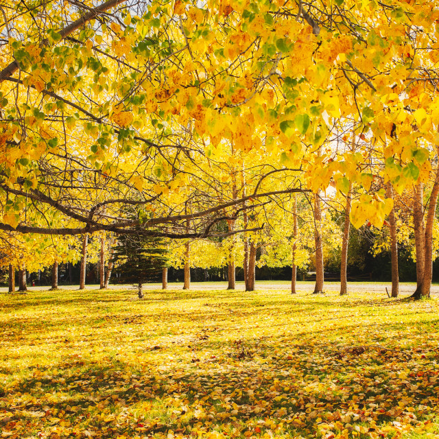 """""""A curving row of trees with changing yellow leaves along the edge of a lawn carpeted with autumn leaves in a morning fall landscape"""" stock image"""