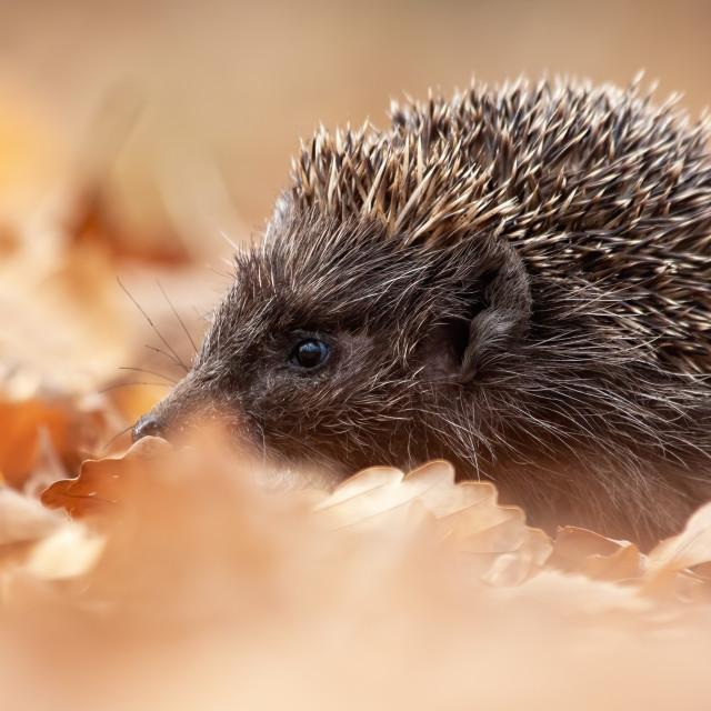 """""""European hedgehog, erinaceus europaeus, sniffing in autumn forest"""" stock image"""