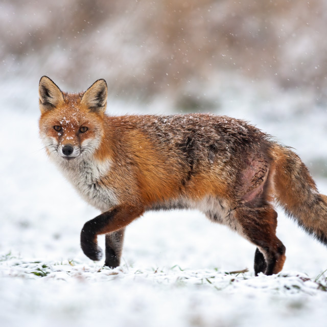 """Bruised red fox pursuing prey on a hunt in icy environment."" stock image"