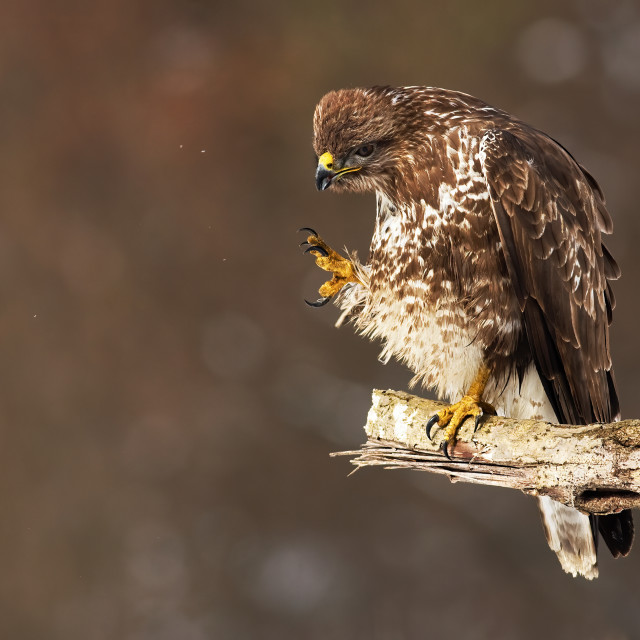 """""""Common buzzard scratching and cleaning feathers while sitting on a bough"""" stock image"""