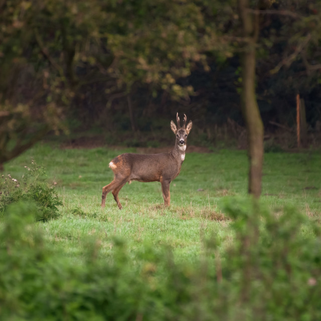 """Roe deer - Lincolnshire"" stock image"
