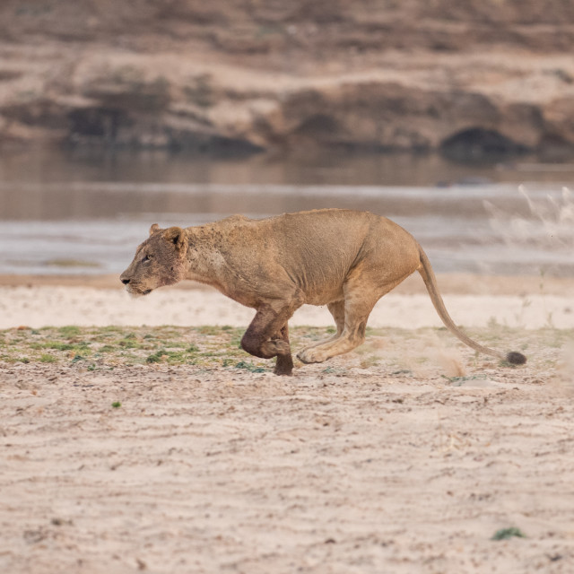 """Lioness running"" stock image"