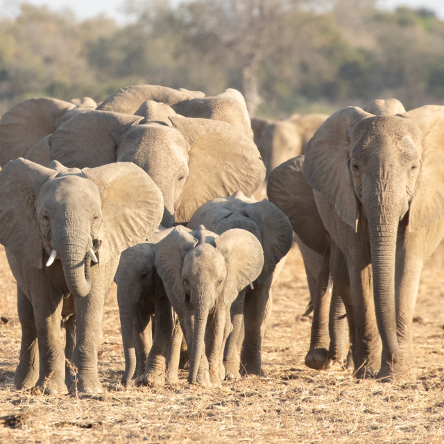 """""""Elephant family on the march"""" stock image"""
