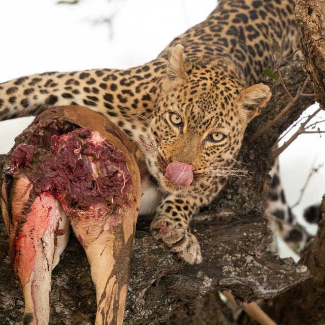 """""""Leopard with kill"""" stock image"""