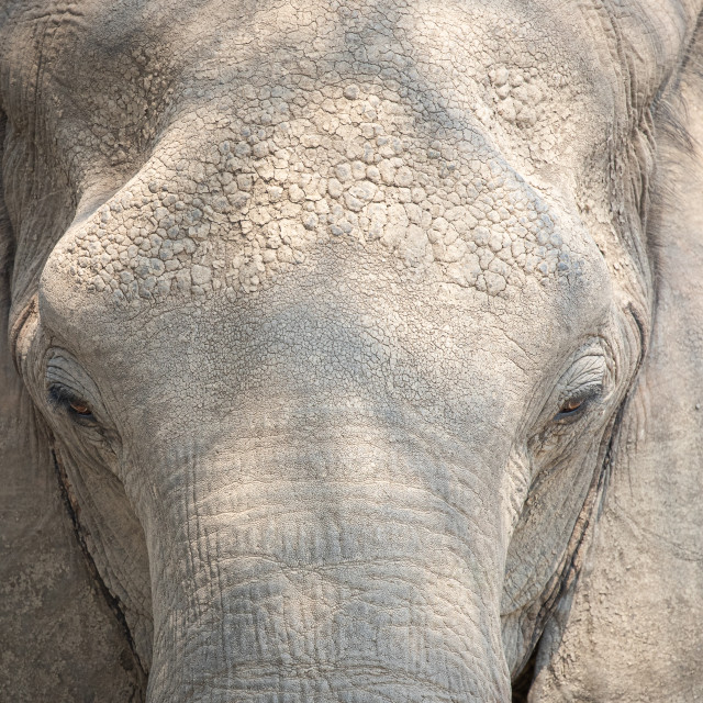 """Elephant close up"" stock image"
